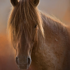 Red Warrior by Kim Wilhite - Animals Horses ( north carolina wildlife, stallion, equine, obx, horse, carrot island, wild horses )