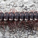 unknown Flat-backed Millipede