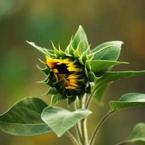 sunfflower button by Josefina Macchia - Nature Up Close Flowers - 2011-2013 ( green, sunflower, yellow, sunflower button, bokeh )