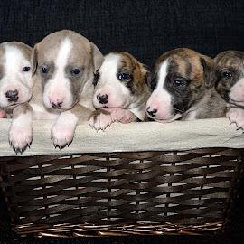 Whippet puppies by Marius Birkeland - Animals - Dogs Puppies ( pups, puppies, pup, puppy, dog, whippet )