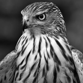 Hawk 2 by Monroe Phillips - Black & White Animals
