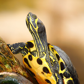 Tortue by Gérard CHATENET - Animals Reptiles
