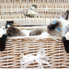 Just chillin..image by JCstudios 2017 by John Cuthbert - Animals - Cats Kittens ( ragdoll, love, wild, flight, kitten, cat, pet passion, nature, pet, beautiful, feline, posing, free butterflu )