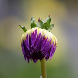 Pretty Purple by Raphael RaCcoon - Flowers Single Flower ( purple, color, dahlia, flower, purple flower )