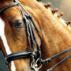 Horse by Bjørn Borge-Lunde - Digital Art Animals ( rider, animals, nature, horses, riding, horse, close up, portrait, animal )