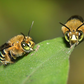 Mr And Mrs Bee by Zainal Arifin  - Animals Insects & Spiders