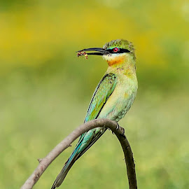Blue-tailed Bee-eater by Prasanna Bhat - Animals Birds