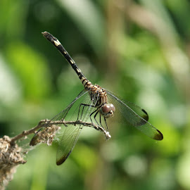 Female Blue Dasher Dragonfly by Tommy Fisher - Novices Only Wildlife