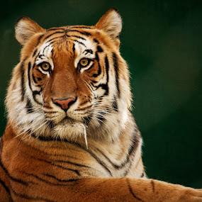Big Tiger by John M. Larson - Animals Lions, Tigers & Big Cats ( big cat, wild, tiger, golden, animal,  )