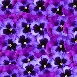 Pansy Abstract by Christy Stanford - Abstract Patterns ( abstract, purple, colors, pansies, flowers )