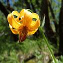 Bosnian lily