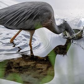 Slam Dunk by Brent McKee - Animals Birds ( bird, water, narrabeen lake, fuji 50-140mm, wildlife, white faced heron, sydney, water bird )