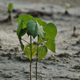 Single stalk of cotton by Terry Linton - Nature Up Close Other plants