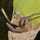 Long-Tailed Hermit Hummingbird