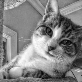 Dickie by Melanie Pond - Animals - Cats Portraits ( cat, kitten, black and white, cute cat, friendly, cute, relaxing, looking, blackandwhite, tabby cat, adorable, kittens, bnw, tabby, closeup, domestic cat )