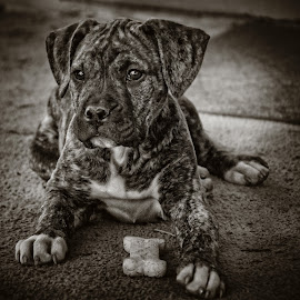 Siting pretty by Tammy Arruda - Animals - Dogs Portraits ( dogs, milk bone, puppy )
