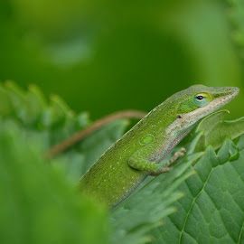 Green on Green by Angel Harvey - Novices Only Wildlife ( green, leaves, chameleon,  )