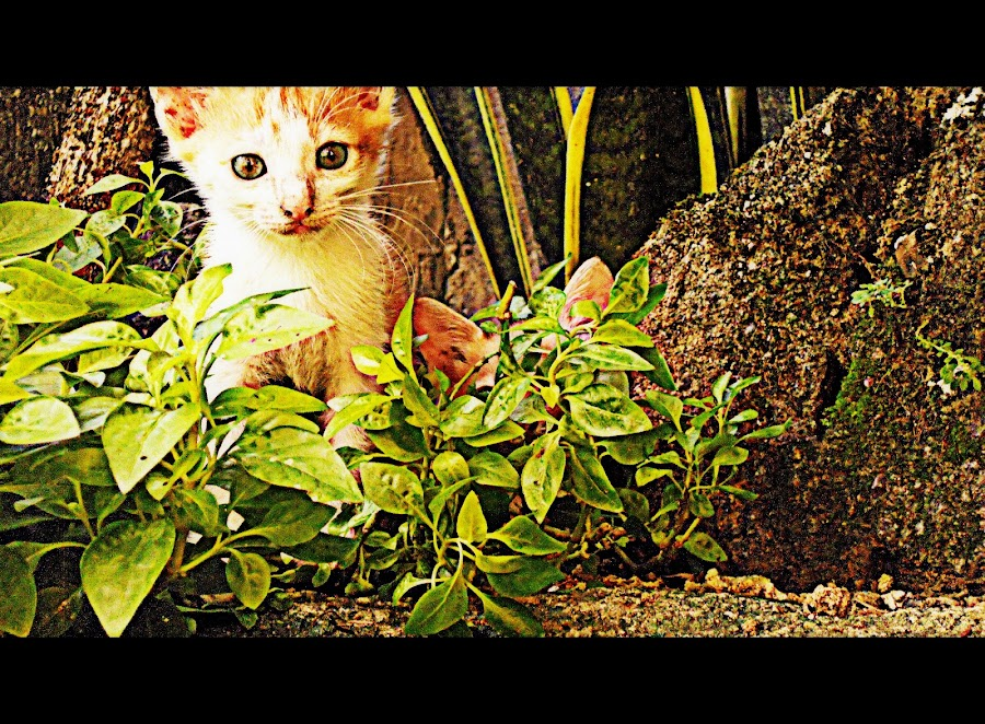 cat by Franz Louie - Animals - Cats Kittens ( cat, hdr, green, yellow )