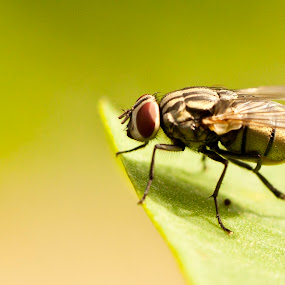 A Fly by Md Mukibul Islam - Animals Insects & Spiders ( macro, fly, house fly, close up, eyes )