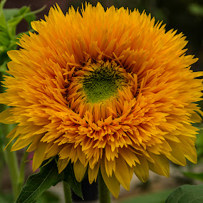 orange sunflower #1 by Frank Barnitz - Flowers Single Flower ( orange, sunflower, flower )