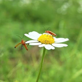 bugs by Vero Vero - Animals Insects & Spiders ( grass, green, white, daisy, yellow, insect, flight, red, nature, color, bug, flower, animal )