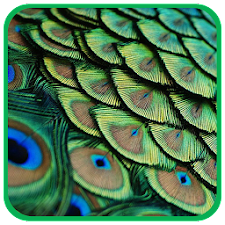 3D Peacock Feather WP