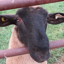 a sheep by Anne Mangen - Animals Other