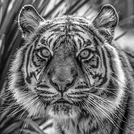 Puna by Garry Chisholm - Black & White Animals ( big cat, tiger, sumatra, sanctuary, garrychisholm )