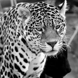 Aramis The Jaguard by Gérard CHATENET - Black & White Animals