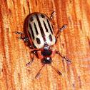 Cottonwood Leaf Beetle