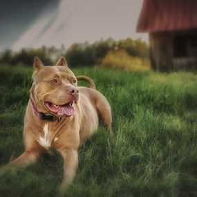Chillin by Mike Svach - Animals - Dogs Portraits ( farm, pitbull, beautiful, dog, evening )