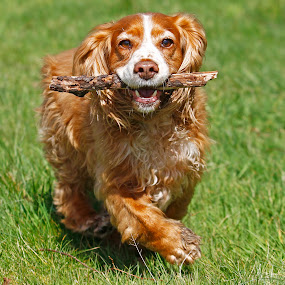 by James Blyth Currie - Animals - Dogs Running ( playing, stick, cocker spaniel, dog, running )