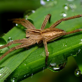 Nursery Web Spider by Pat Somers - Animals Insects & Spiders