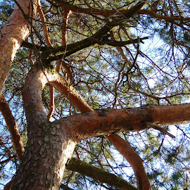 TO THE SKY by Wojtylak Maria - Nature Up Close Trees & Bushes ( february, nature, trees, branches, conifers )