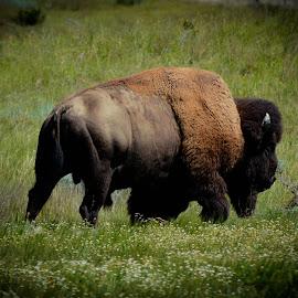 Bison by Emily Wetzel - Animals Other Mammals