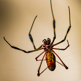by Bea Welsh - Animals Insects & Spiders ( orb, legs, web, insect, big, trap )