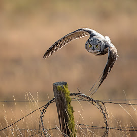 Great Horned Owl coming at you! by Gary Davenport - Animals Birds ( fence, flying, post, great, owl, horned, turning )