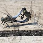 Odonata ID?