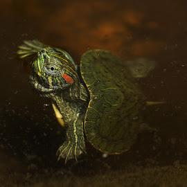 TURTLE by Alfonso Emmanuel Galina - Animals Amphibians ( turtle )