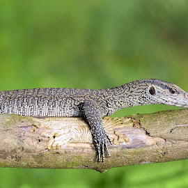 Monitor lizard by Pankaj Biswas - Animals Reptiles ( wild animal, lizard, nature, outdoor, wildlife, forest, animal )