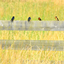 Swallows by Brian Shoemaker - Novices Only Wildlife ( field, swallows, fence, landscape, birds )