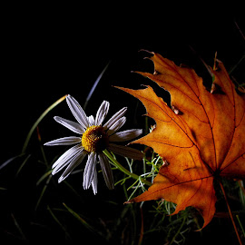 *** by Jurijs Ratanins - Instagram & Mobile Android ( mobilography, nature, autumn, plants, daisy, leaves, flower )