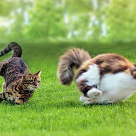 Cat race! by Jane Bjerkli - Animals - Cats Portraits ( expression, playing, cats, grass, bengal cat, green, funny, summer, fun, running, race )