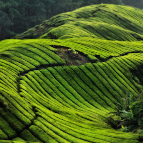 Tea Farm by Steven De Siow - Landscapes Mountains & Hills ( farm, pattern, green, landscape, tea )