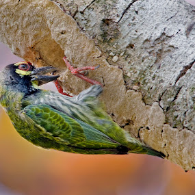Making Home by Sutapa Karmakar - Animals Birds ( bird, nature, color, kolkata, coppersmith barbet, bird photography )