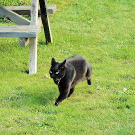 Lucky is Running! by Marion Metz - Animals - Cats Playing ( playing, cat, lucky, fun, garden, running, new zealand, black,  )