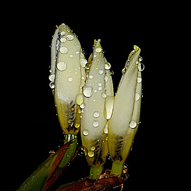 by Carmen Quesada - Nature Up Close Natural Waterdrops ( macro, white, nature up close, buds, waterdrops )