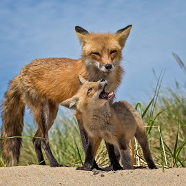 Mother and Child by Kathy Val - Animals Other Mammals ( wild animal, fox, mother, nature, wildlife, baby )