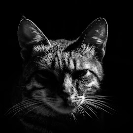 Wanted! by Jurica Žumberac - Animals - Cats Portraits ( cat, black and white, pet, portrait )