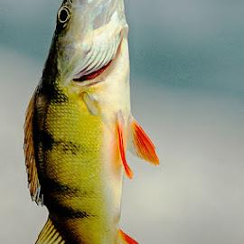 On the hook by Radu Eftimie - Animals Fish ( perch )
